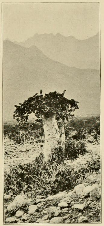 Cucumber_Tree_(Dendrosicyos).jpg