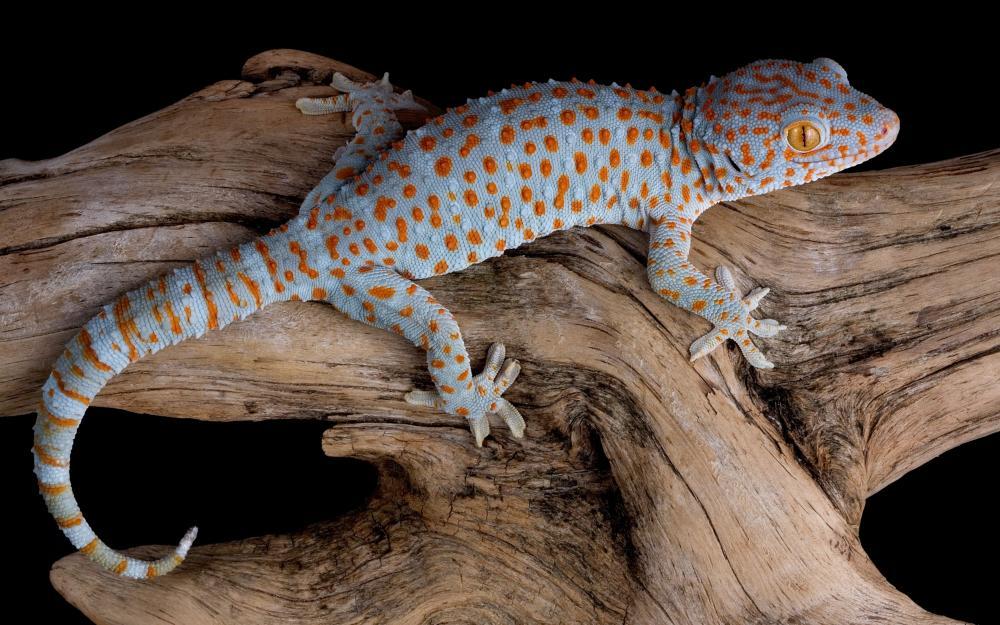 5574279-tokay-gecko-wallpapers.jpg