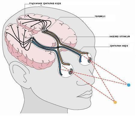 Зрението-като-фунция-на-мозъка.jpg