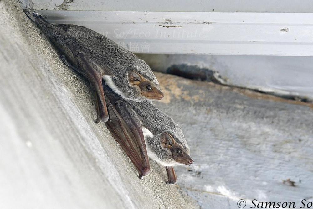 (Taphozous mauritianus).jpg