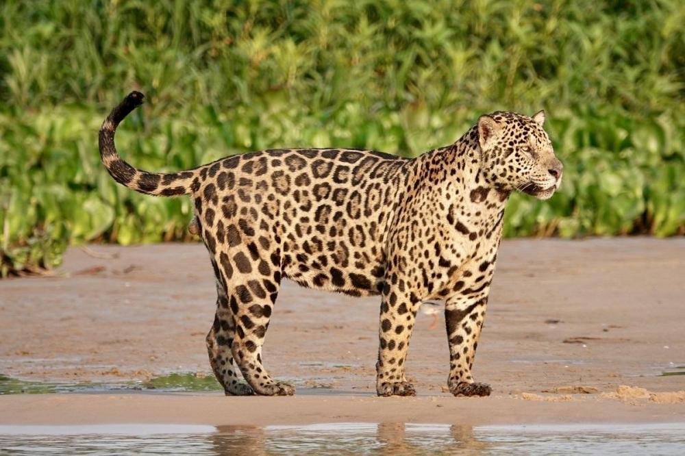 905956880_(Pantheraonca)-Copy.thumb.jpg.aa19e64921cd8db7460fdba921840167.jpg