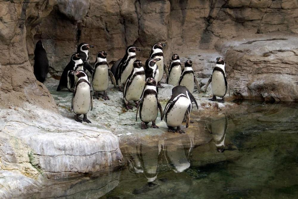 group-of-penguins-at-the-st--louis-zoo-139981921-5aab5dbdff1b7800365b4f20.jpg
