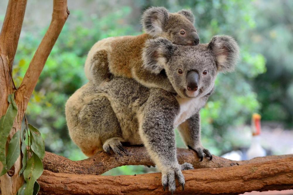 koala.thumb.jpg.70382ce450cff2c3dcf9edbabbadc013.jpg