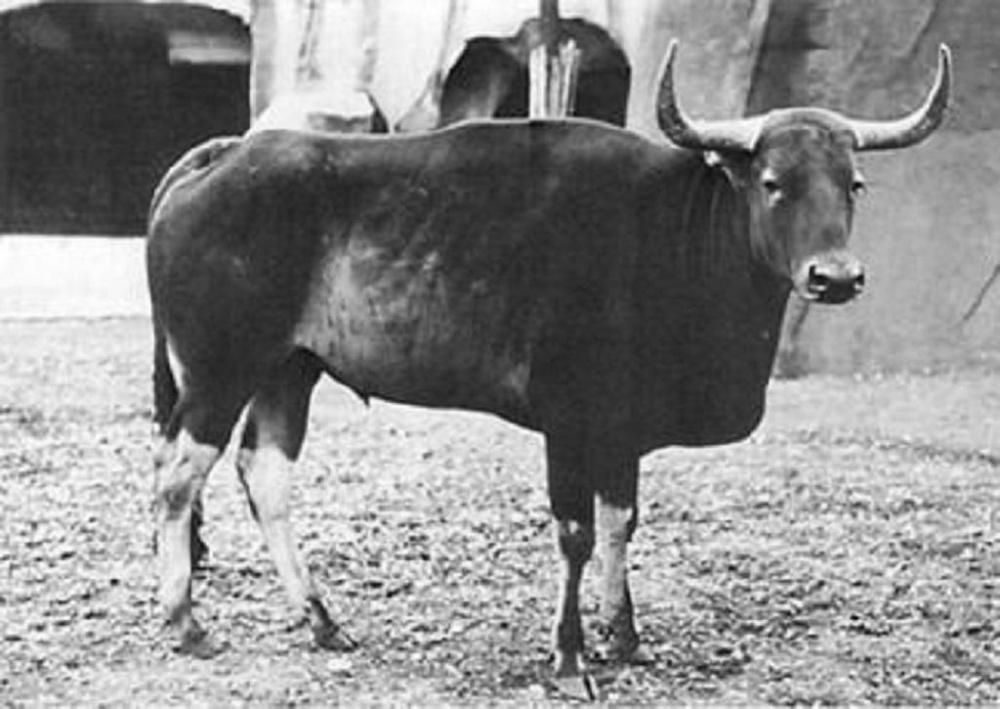 Kouprey_at_Vincennes_Zoo_in_Paris_by_Georges_Broihanne_1937.thumb.jpg.e455f0da3755ab903cbc4c213a6b8f83.jpg
