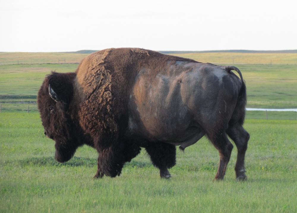 bison.thumb.jpeg.b2dc914098d228d803e34e4d443c91d0.jpeg