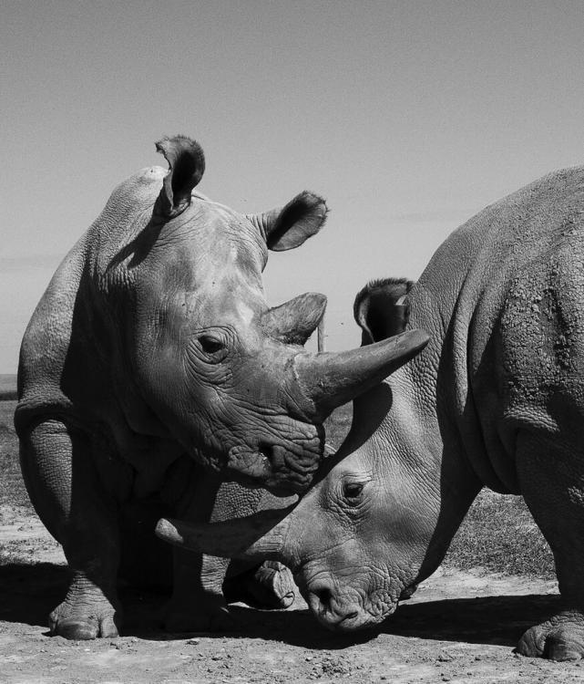 10mag-whiterhinos-02-jumbo.jpg