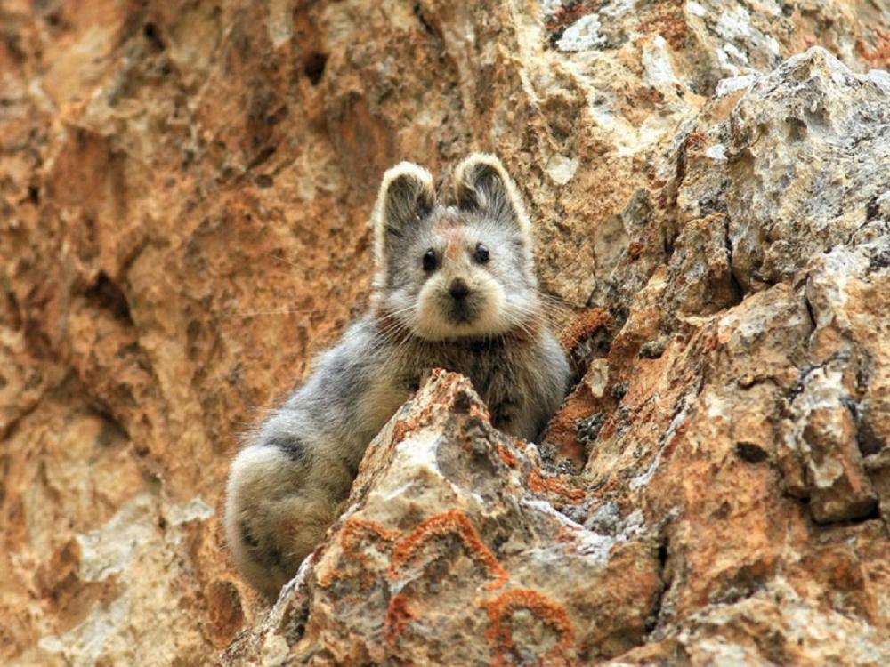 1813244357_Ochotona-iliensis-the-magic-rabbit-in-China(1).thumb.jpg.6ea401df294acadf2344b6ef58b511ae.jpg