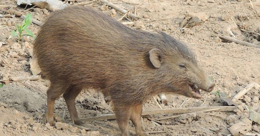 Pygmy-hog-.thumb.jpg.e6ce9a76f307befc17e79ab2f2fd573b.jpg