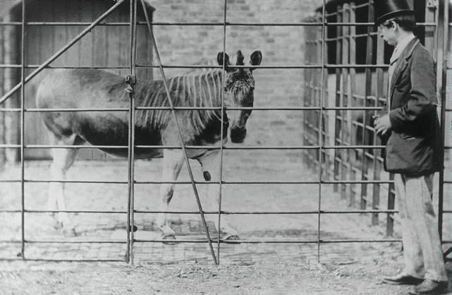 Quagga_London_Zoo.jpg