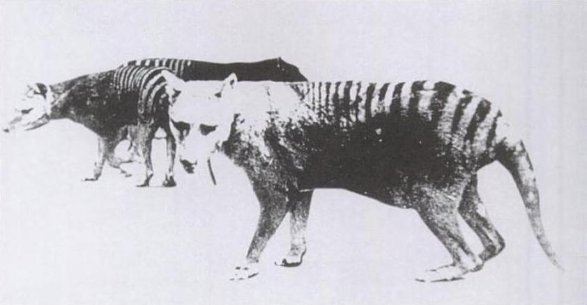 Thylacine_pouch.jpg