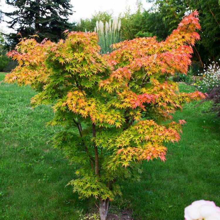 acer-palmatum-orange-dream-superplants-bg1.jpg