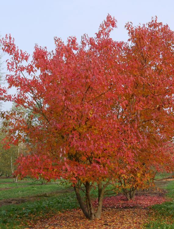 acer-tataricum-subsp-ginnala.jpg