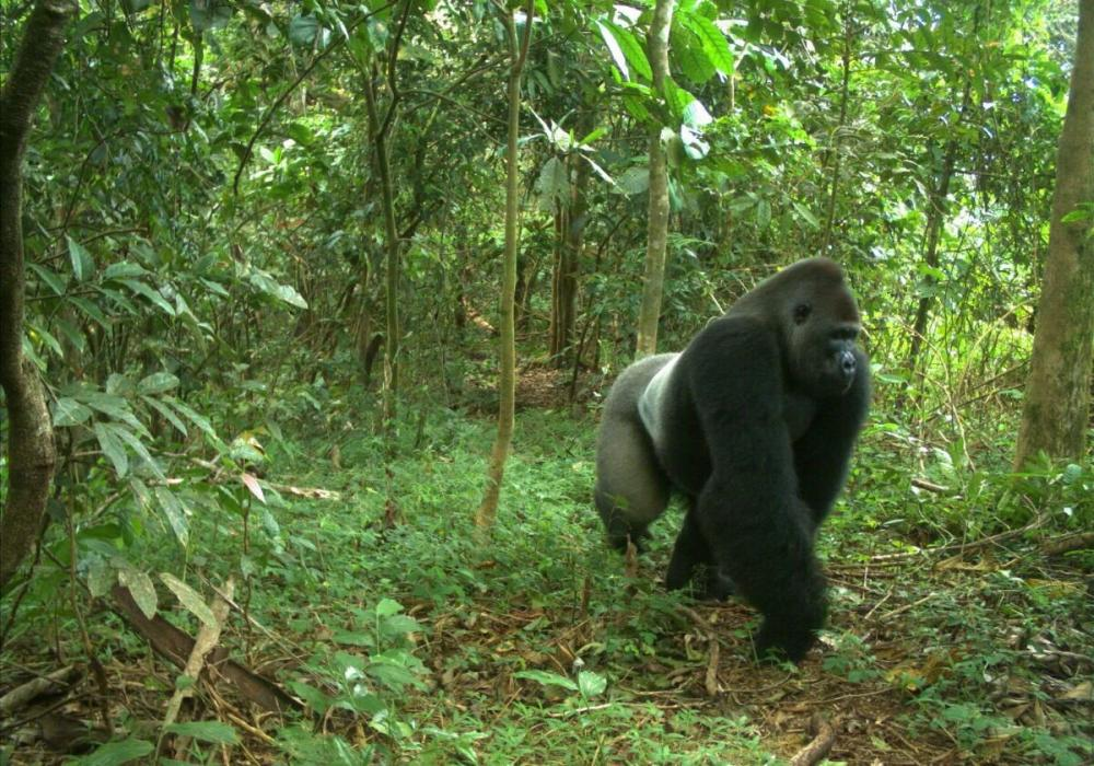 the-cross-river-gorilla-is-a-rare-and-iconic-species-photo-by-wildlife-conservation-society_2.thumb.jpg.87e28f2d8337b1fb0238cc1877125282.jpg